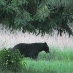 he Maine Department of Inland Fisheries and Wildlife says restrictions on bear hunting would cripple its ability to manage black bears.